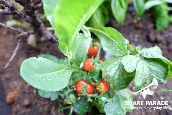 こちらのトマトは種から育てたようです。